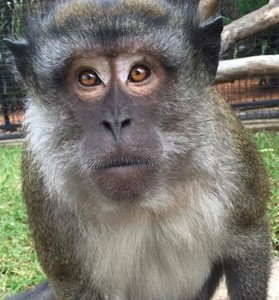 crab_eating_macaque