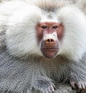 hamadryas_baboon