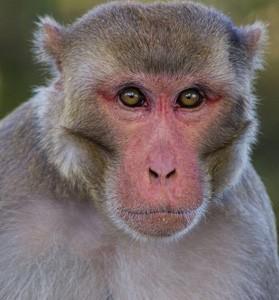 rhesus_macaque